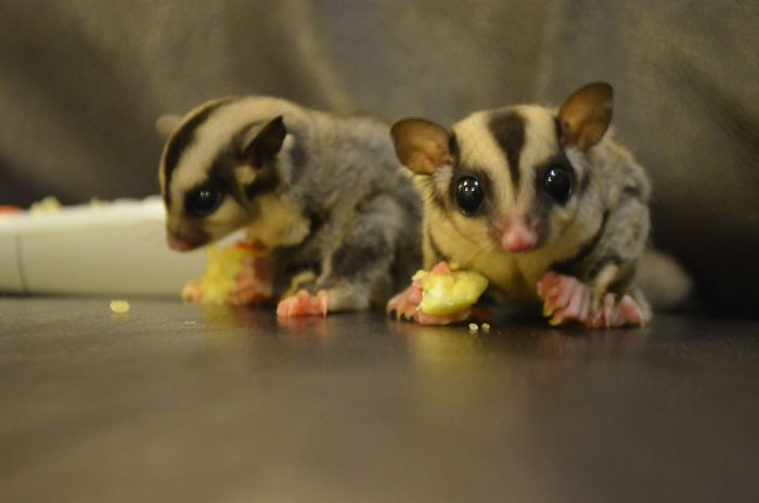 Not Your Typical Aww But My Two Sugar Gliders Eating Their Apples