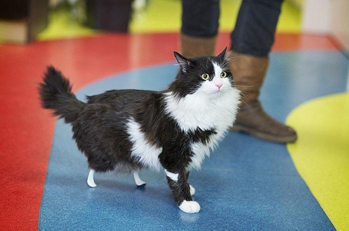 amputee-cat-bionic-legs-pooh-bulgaria-3