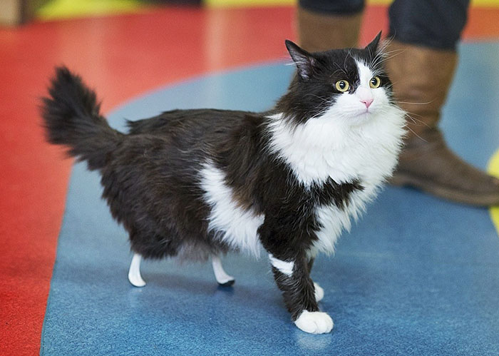 Amputee Cat Just Got New Legs, Watch Him Walk Again