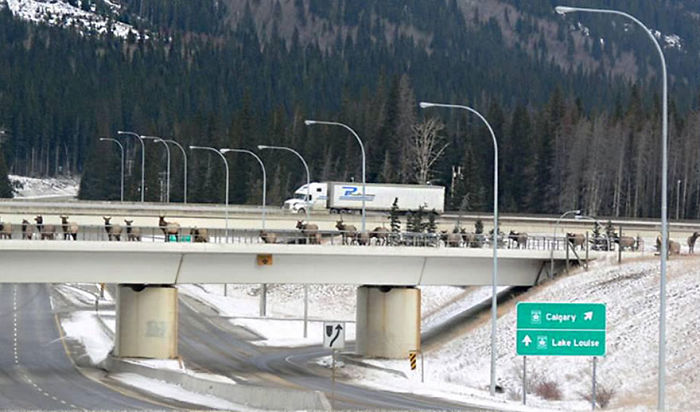Cruce para animales en Banff, Canadá