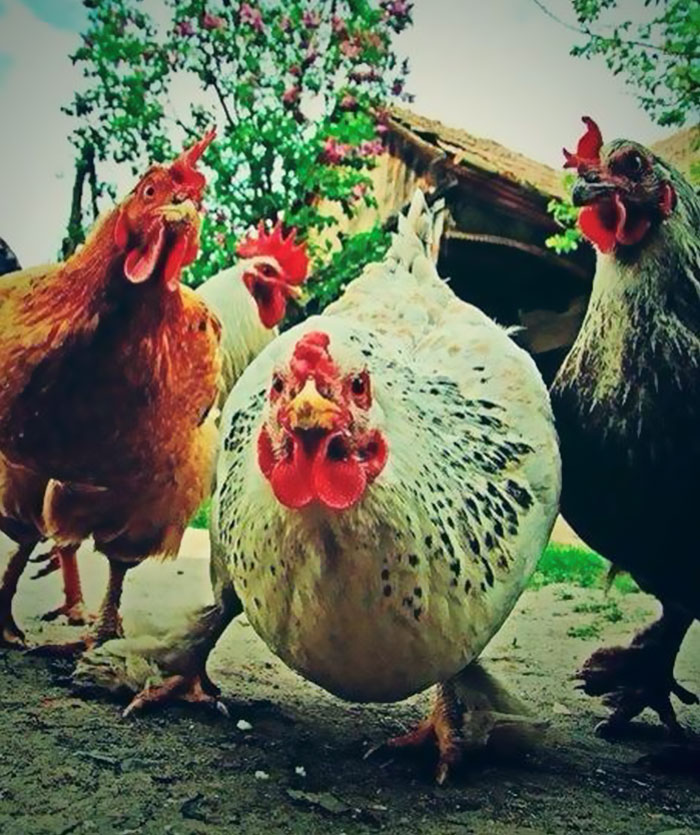 The Aggressive Rock Chickens