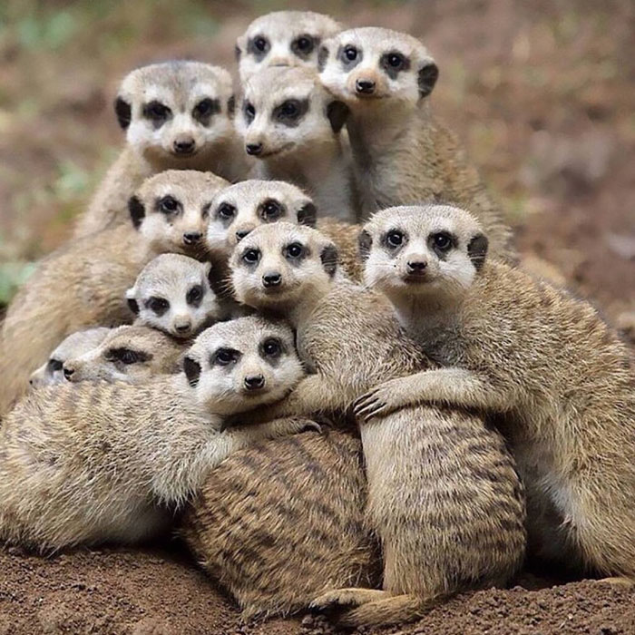 These Meerkats Dropping Their Family Album This Year