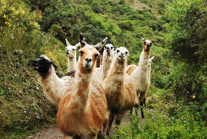 These Llamas Are The Newest Hit In The Country Rock Scene