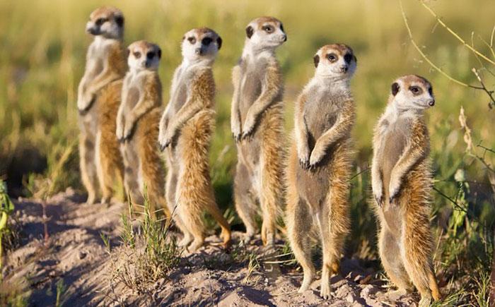 The Meerkat Dolls