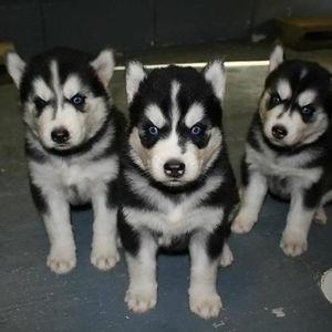 Norwegian Black Metal Puppies