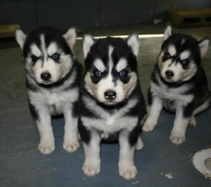 Norwegian Black Metal Puppies