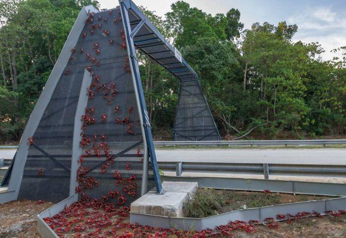 Puente para cangrejos en la Isla de Navidad