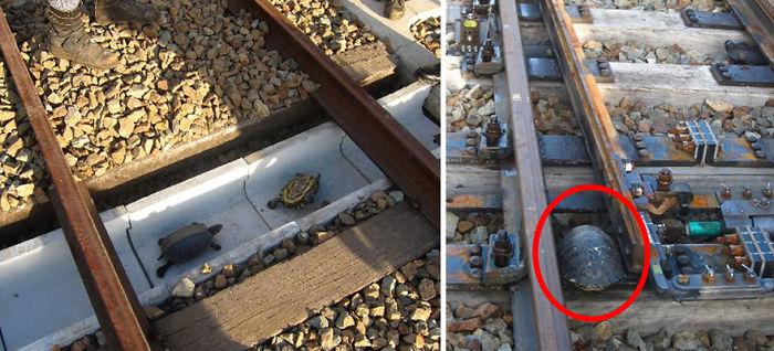 Túnel para tortugas en Japón