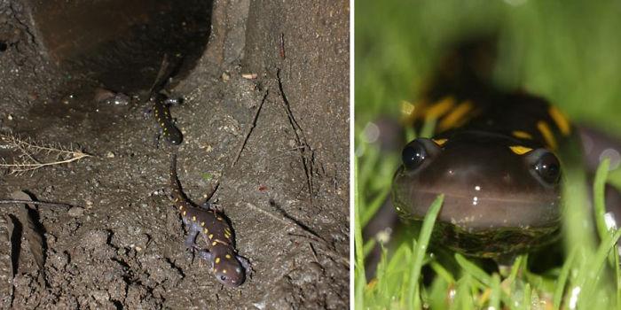 Túneles para salamandras en Nueva Inglaterra