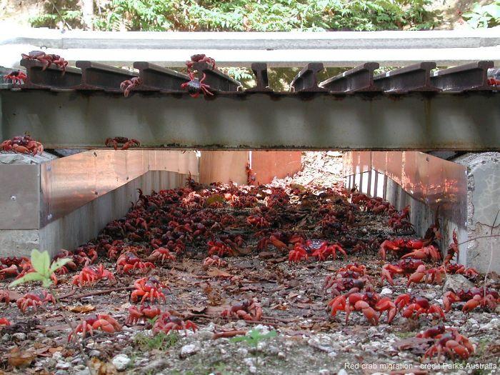 Túnel para cangrejos en Isla de Navidad