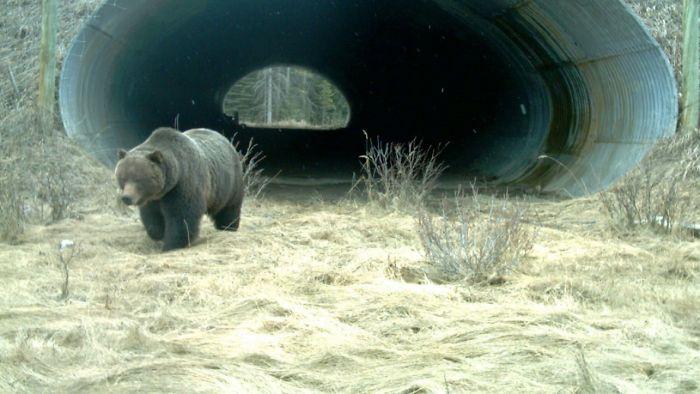 Oso grizzly saliendo de un paso subterráneo que cruza la carretera transcanadiense