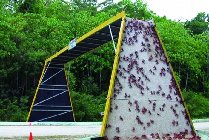 Puente para cangrejos en Isla de Navidad