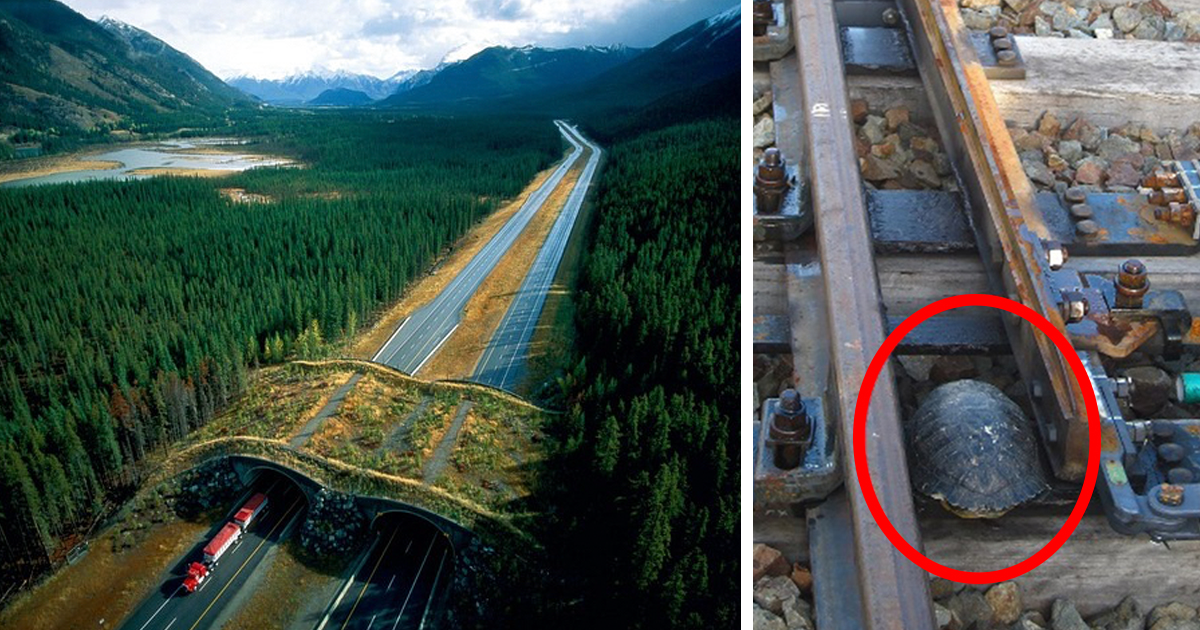 10 + increíble Animal puentes y pasos que guardar 1000s de animales cada año