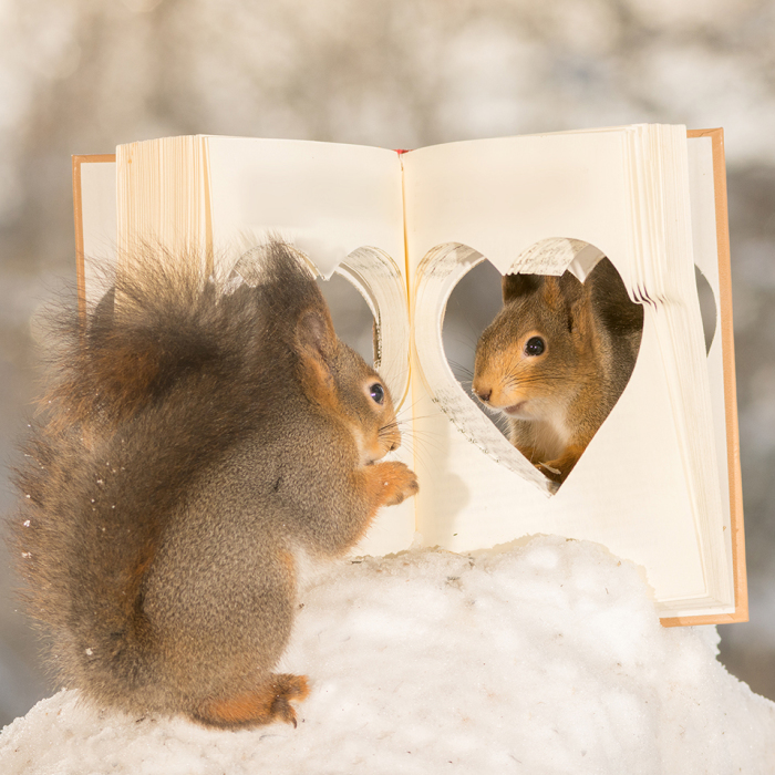 Wild Red Squirrels Celebrate Valentine's Day