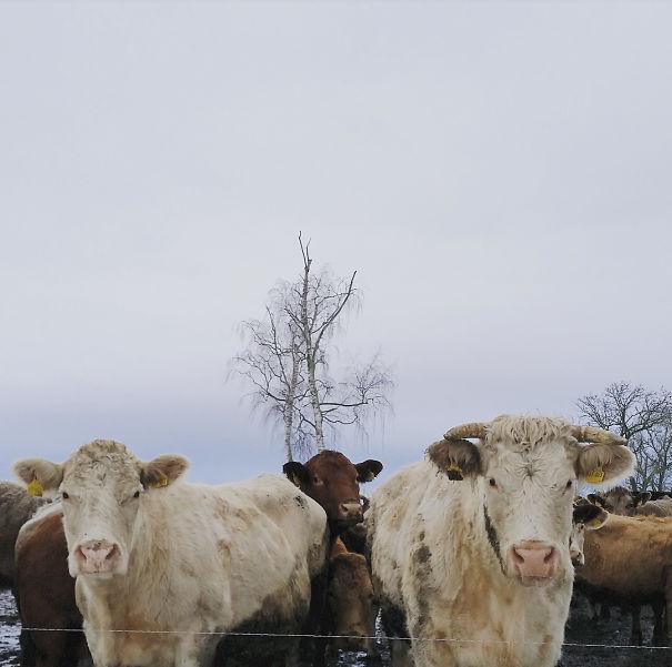 cow1-58b02fca14f81-png.jpg