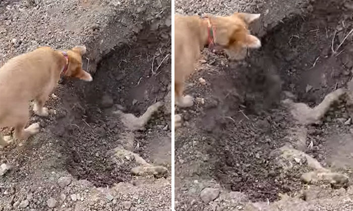 Dog Spotted Burying His Best Friend After He'd Been Hit By A Car, And It'll Break Your Heart
