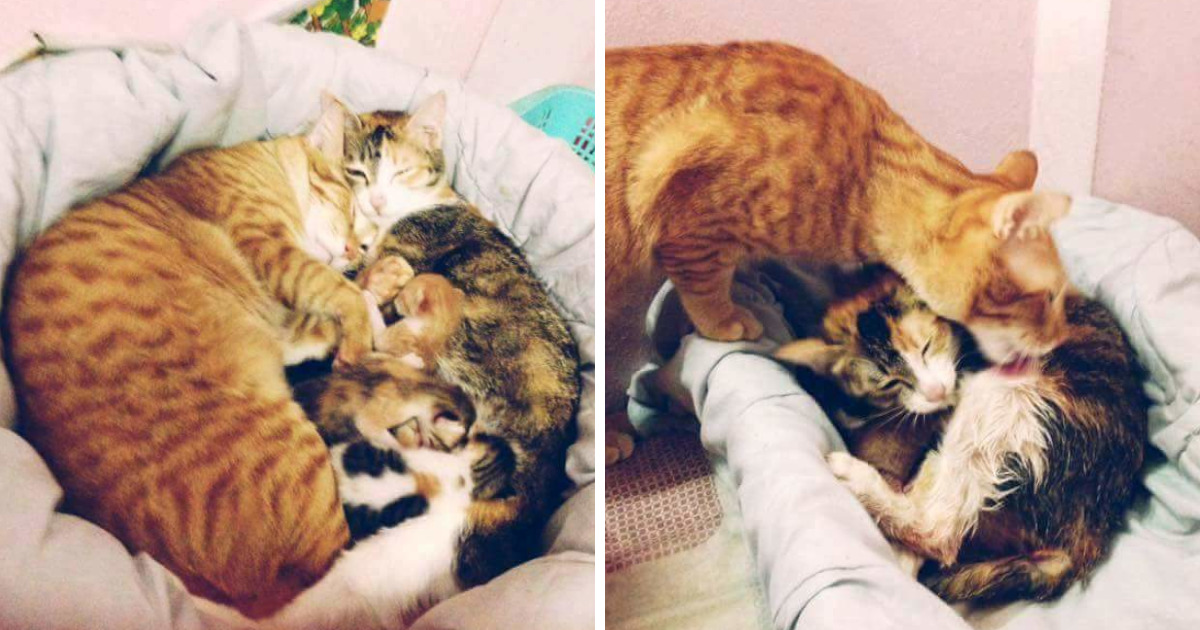 Father Cat Supports Mom Cat Giving Birth, Wins Everyone's Hearts