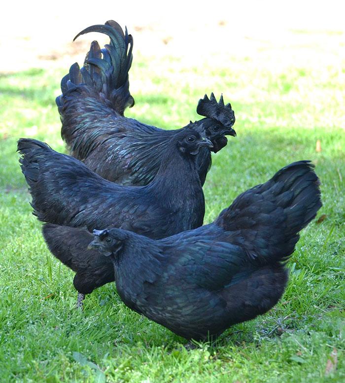 goth-black-chicken-ayam-cemani-14