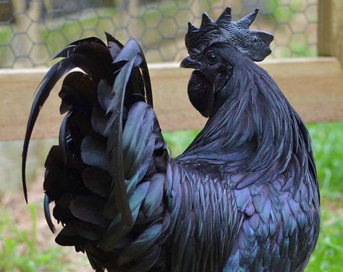 """Este curioso """"pollo gótico"""" es 100% negro, desde las plumas a los huesos"""