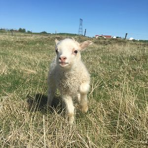 Lambs Are Cute, Right?