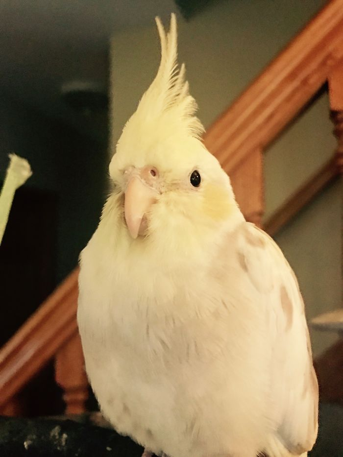 Cutest Cockatiel Ever!