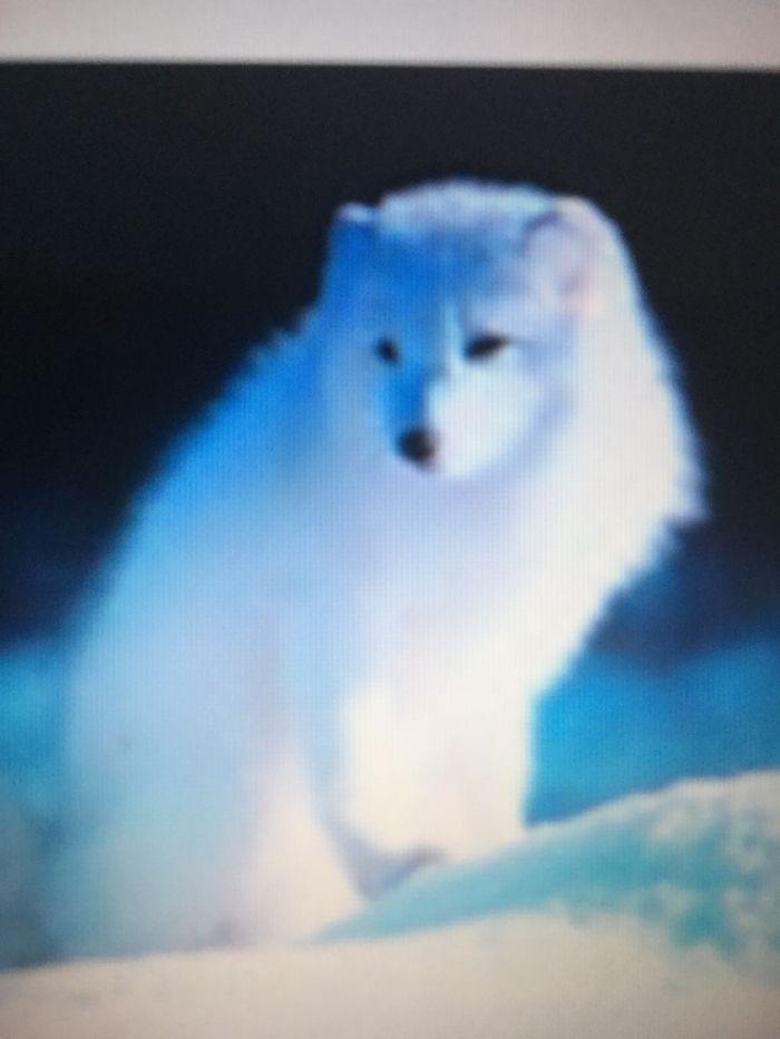 Arctic Fox Alone + Me