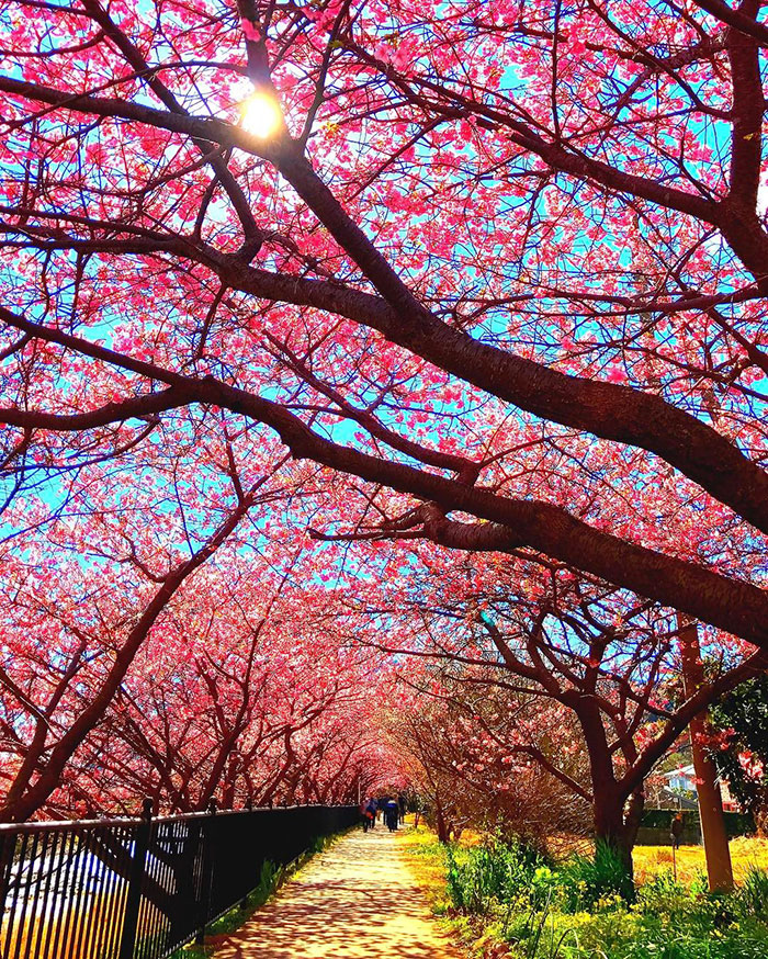Cherry Blossoms Have Just Bloomed In This Japanese Town And The
