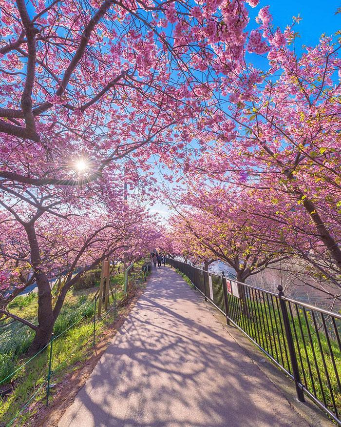 kawazu-cherry-blossoms-shizuoka-japan-7