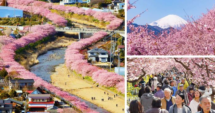 cherry blossoms dating service