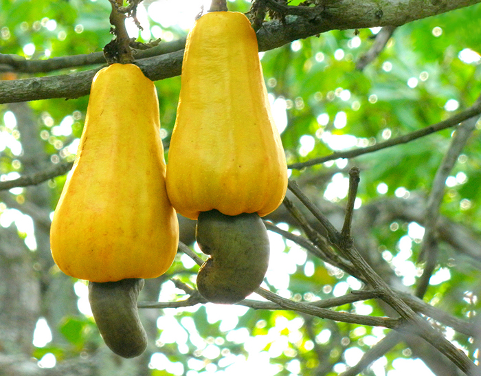 This Is How Cashews Grow