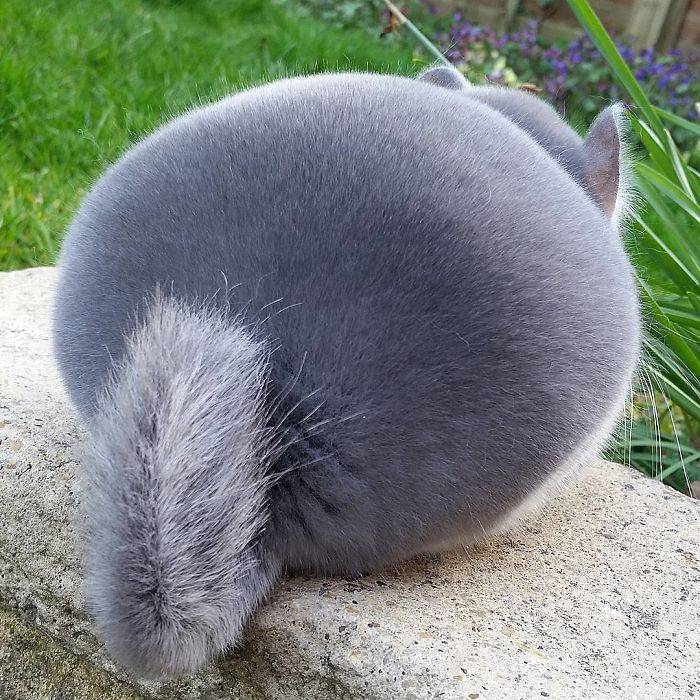 What does a chinchilla look like