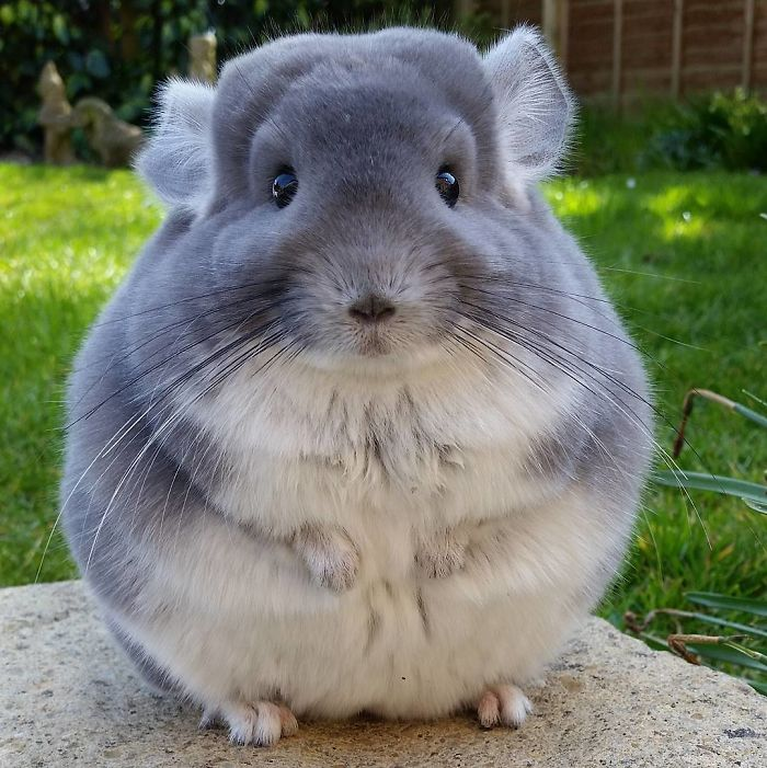 Cute Male & Female Chinchilla Names [Funny,White,Grey & Others]