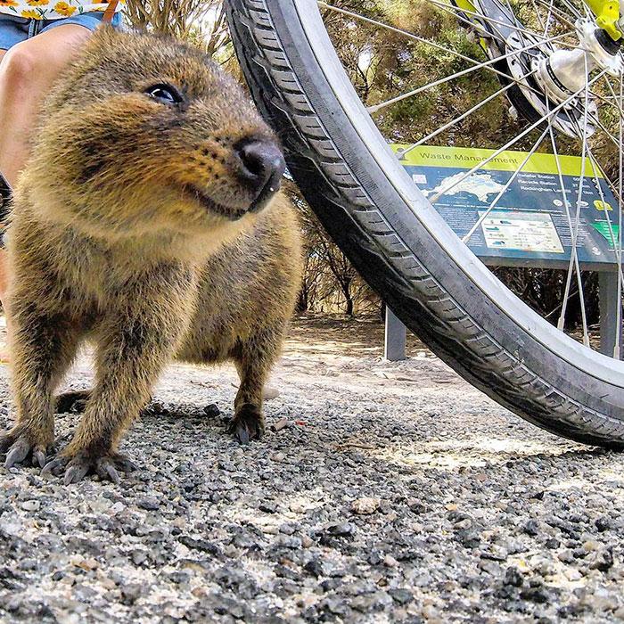quokka-meets-cyclist-man-australia-3