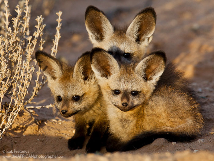 African Bat-Eared Foxes