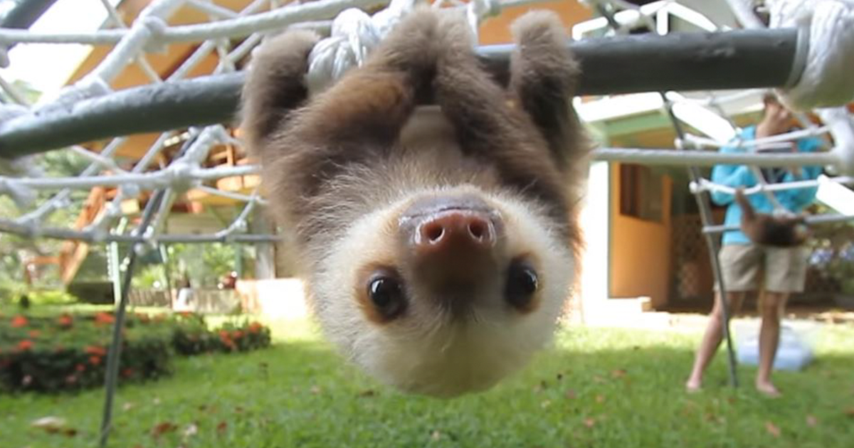Watch Rescued Baby Sloths Have A Conversation And Try Not ... Baby Sloths