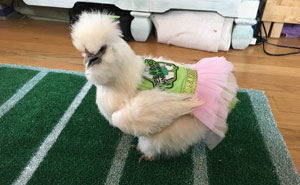 This Chicken In A Tutu Dress Is The Most Adorable Therapy Pet Ever