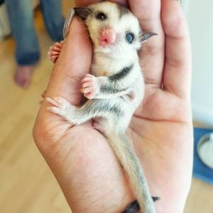 10+ Sugar Gliders That Are Just Too Sweet