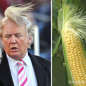 Donald Trump Or This Ear Of Corn?