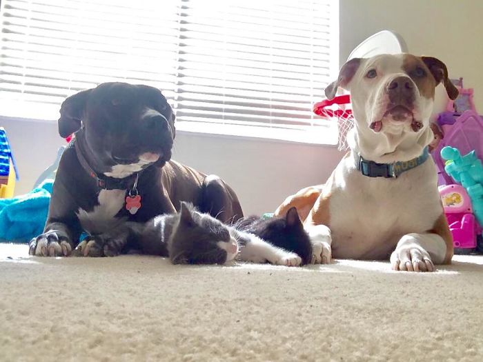 Just A Couple Of Vicious Pit Bulls With Two Little Kittens