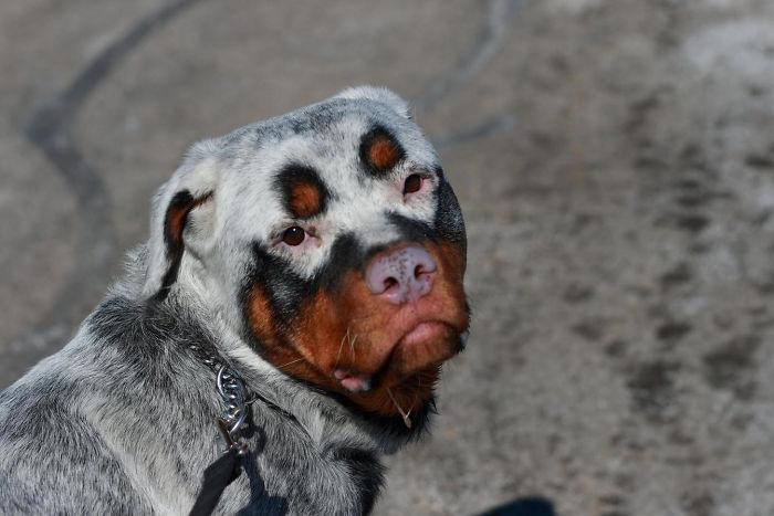 Vitiligo Animal