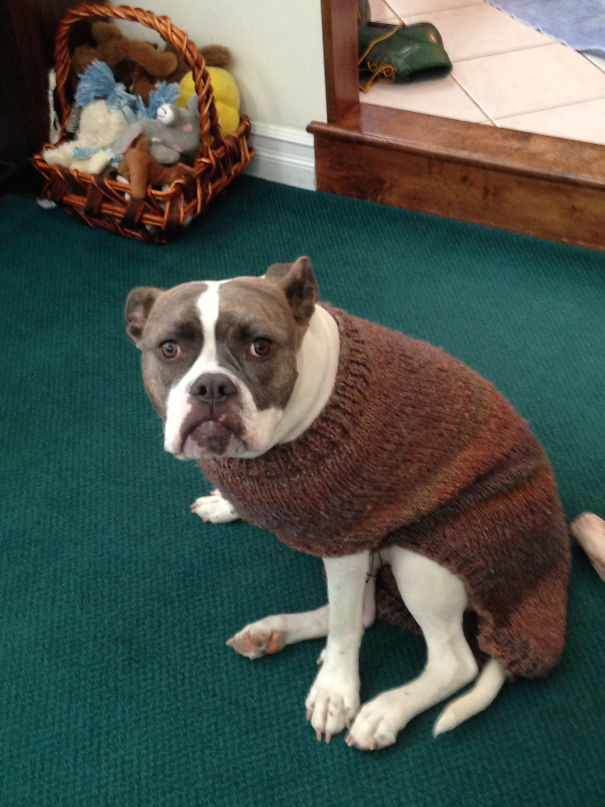 My New Dog Tried On A Sweater For The First Time