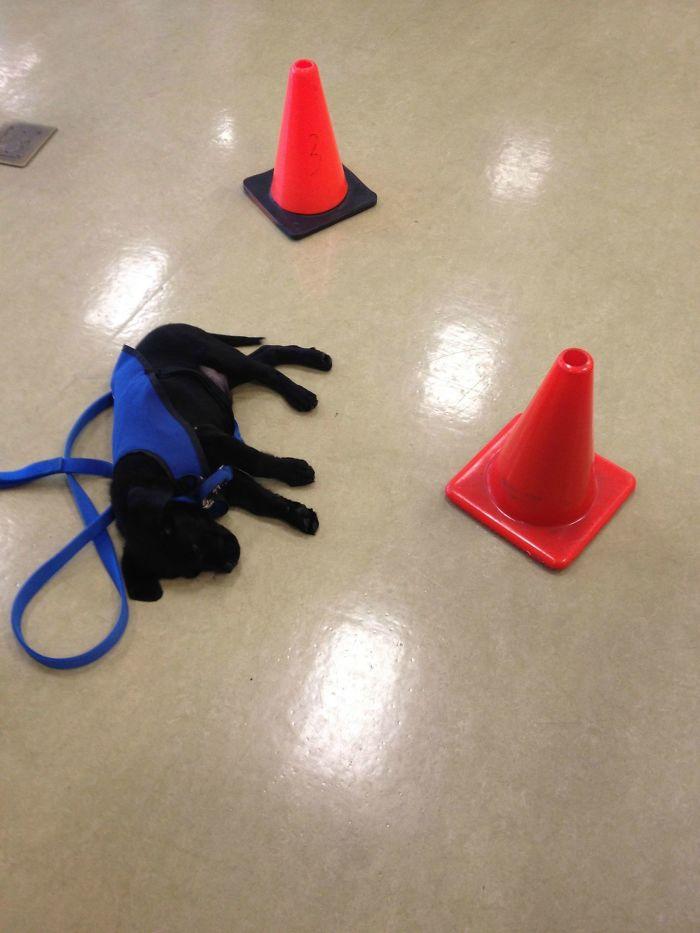 Este perro decidió echarse una siesta en mitad del entrenamiento