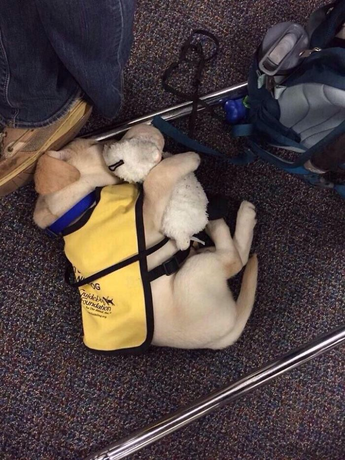 Cachorro de perro guía con su peluche