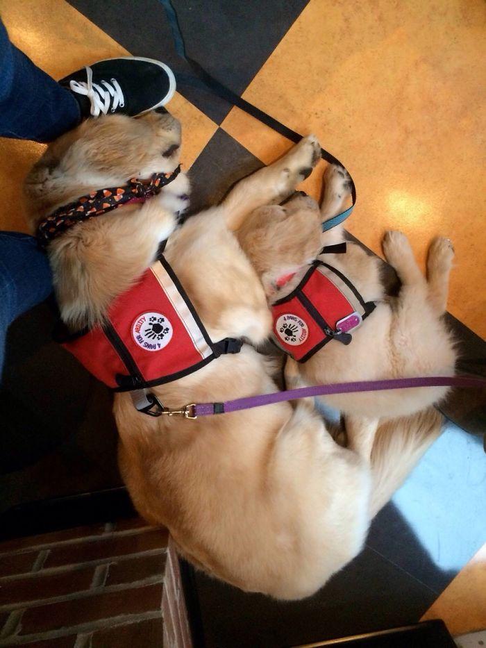 Dos perros de servicio tras trabajar duro