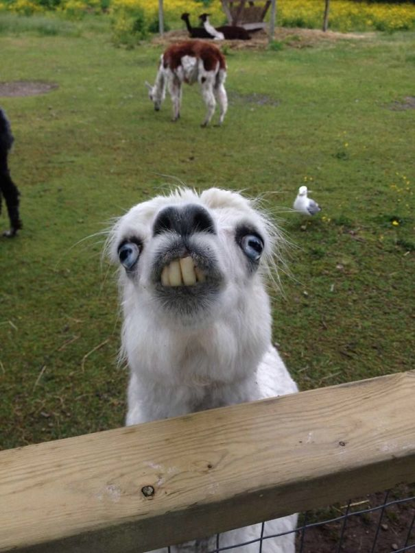 This Derpy Alpaca At The Petting Zoo