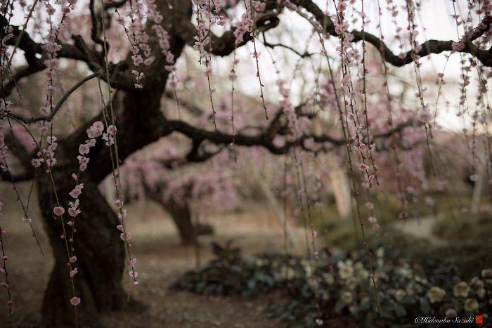 I Captured Plum Bloom In Japan