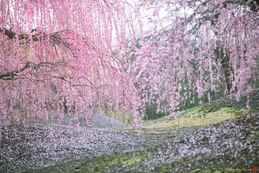 I Captured Plum Trees Blooming In Japan