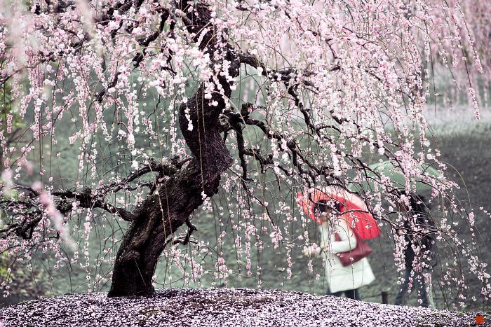 I Captured Plum Trees Blooming In Japan2