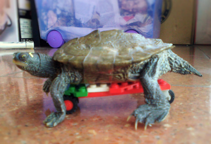 "I Attached A Lego Skateboard To My Turtle. He Didn't Like It At All And Looked At Me Like ""are You Calling Me Slow, B*tch?"""