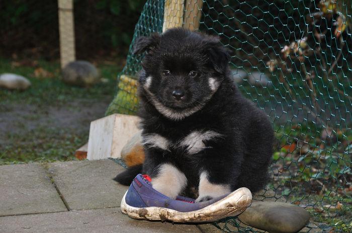 Alva, Eurasier Puppy